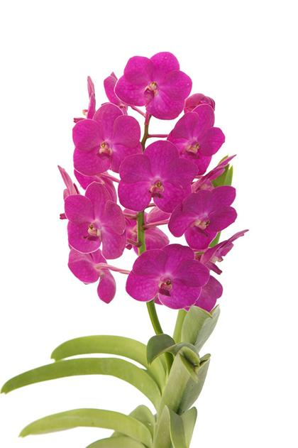Vanda_Suksumran_Beauty
