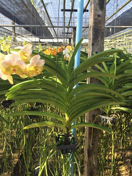 Vanda_Boonyarit_Diamond_4