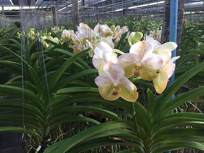 Vanda_Boonyarit_Diamond_5