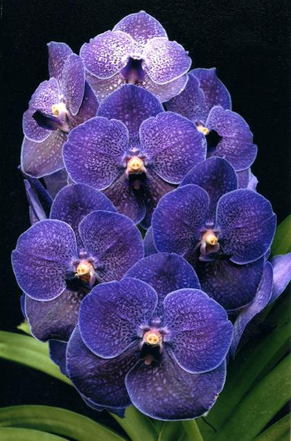 Vanda_Pure_Wax_Blue