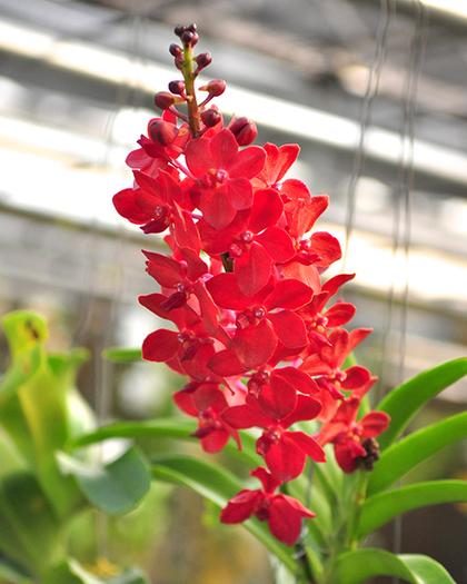 Vanda_Roll_On_Red_2